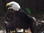 Bald Eagle6 3